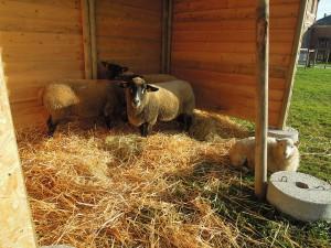 Moutons BD